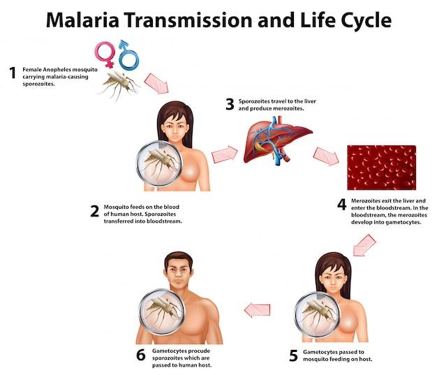 Transmissão da malária e ciclo de vida Vetor Premium