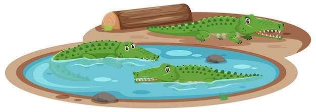Três crocodilos na lagoa Vetor Premium