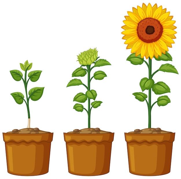 Três vasos de plantas de girassol Vetor grátis