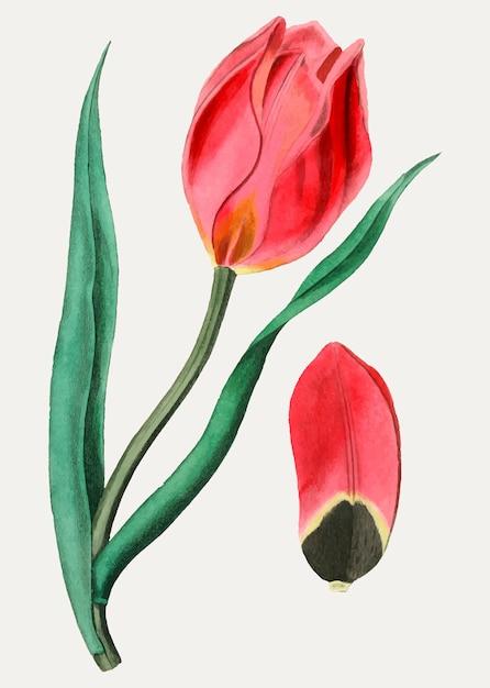 Tulipa do olho do sol Vetor grátis