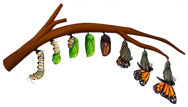 Um conjunto de ciclo de vida da borboleta Vetor Premium
