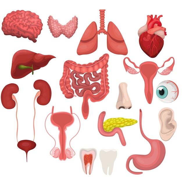 Um conjunto de órgãos humanos. ilustração isolada no fundo branco. Vetor Premium