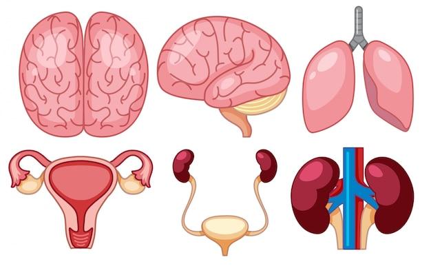 Um conjunto de órgãos humanos Vetor Premium