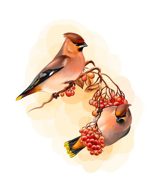 Um par de pássaros de inverno lindos pássaro waxwing sentado em um galho no fundo branco, esboço desenhado à mão. ilustração de tintas Vetor Premium