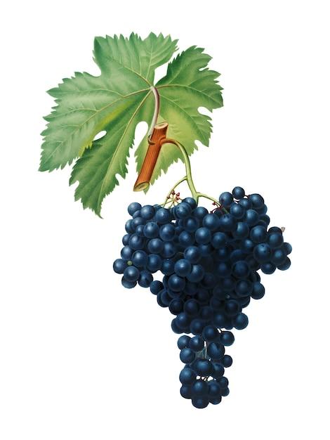 Uvas fuella da ilustração pomona italiana Vetor grátis