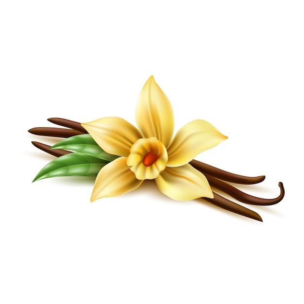 Vector realista baunilha flor varas de feijão seco Vetor Premium