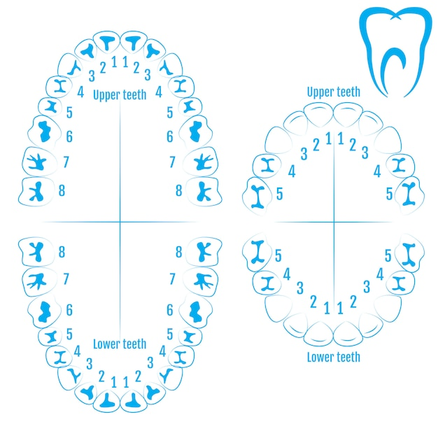 789d28c70 Vetor de anatomia do dente humano ortodontista Vetor Premium