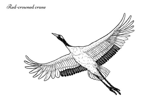 Vetor de guindaste vermelho-coroado, voando à mão de desenho Vetor Premium