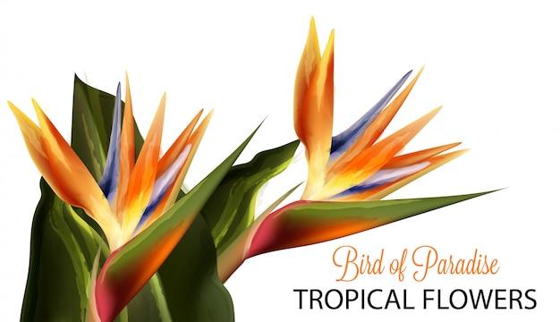 Acquerello del fiore di uccello del paradiso Vettore Premium