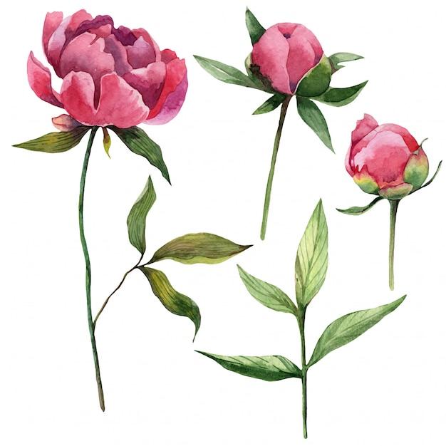 Acquerello peonie naturali fiori, foglie e boccioli Vettore Premium