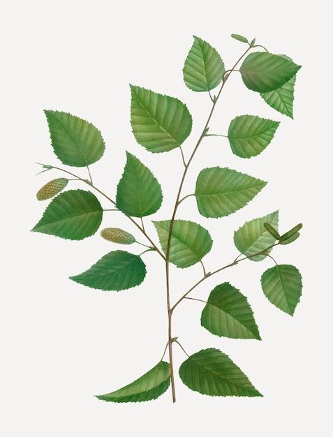 Albero di betulla di carta Vettore gratuito