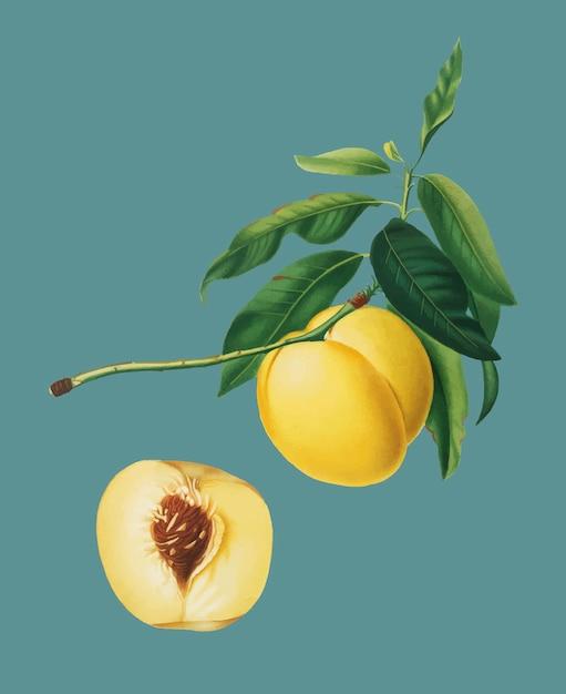 Albicocca gialla dall'illustrazione di pomona italiana Vettore gratuito
