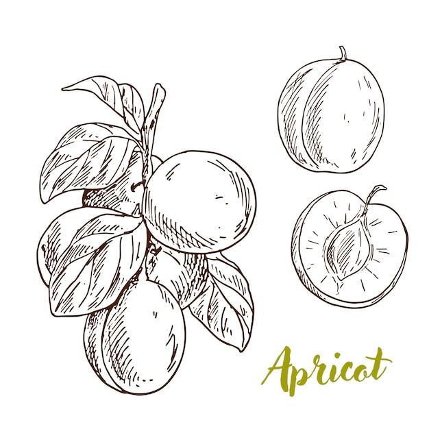 Albicocche, ramo con foglie, metà del frutto Vettore Premium