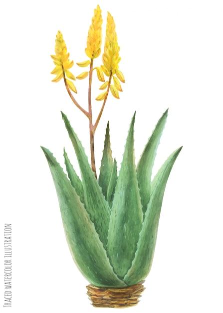 Aloe vera bush Vettore Premium