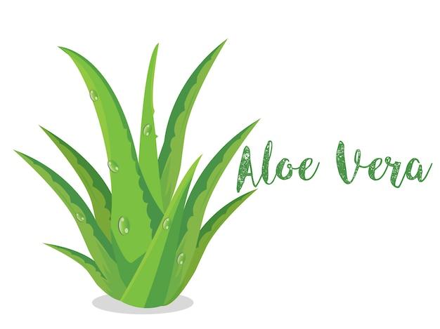 Aloe vera plant vector su bsckground bianco Vettore Premium