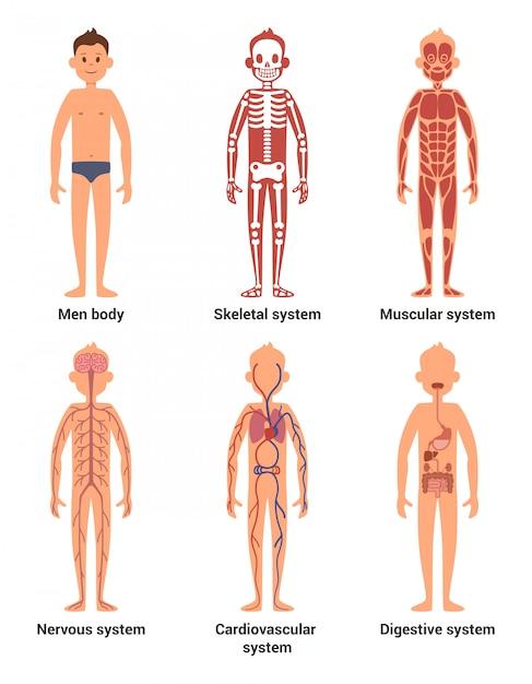 Anatomia corporea degli uomini Vettore Premium