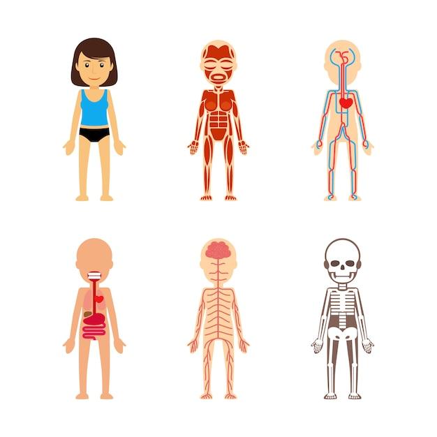 Anatomia del corpo femminile Vettore Premium