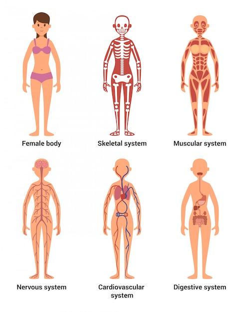 Anatomia della femmina Vettore Premium