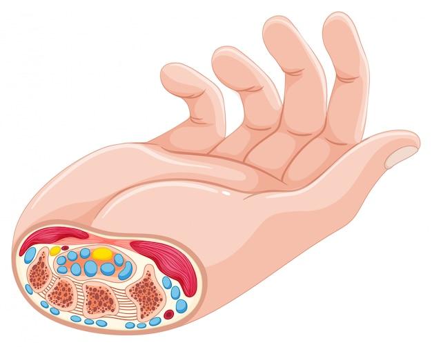 Anatomia della mano umana su bianco Vettore gratuito