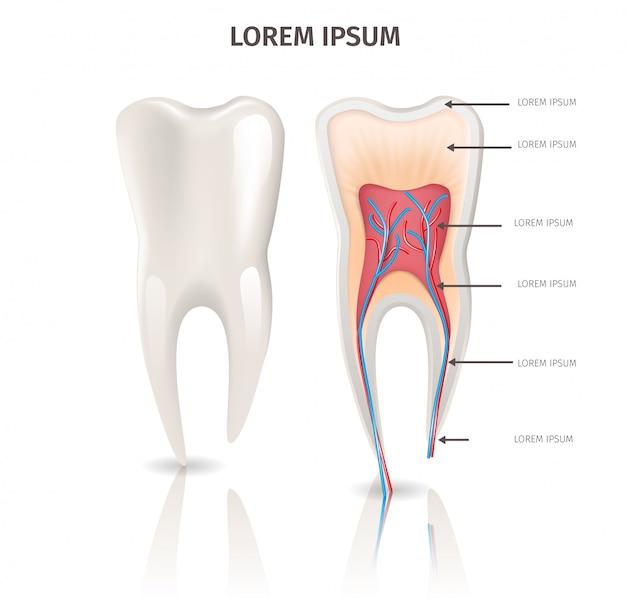 Anatomia realistica del dente dell'illustrazione nel vettore 3d Vettore Premium