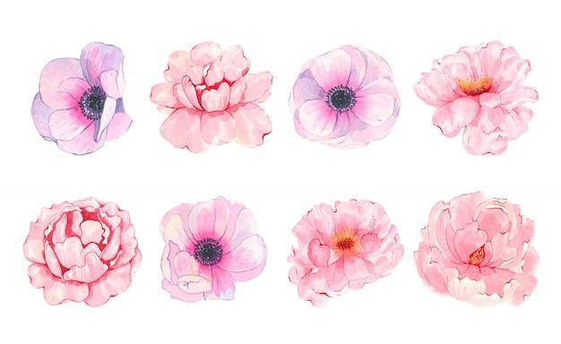 Anemone dipinto a mano della peonia di rosa del fiore dell'acquerello isolato su bianco Vettore gratuito