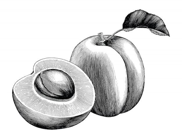 Annata di tiraggio della mano della raccolta dell'albicocca isolata su fondo bianco Vettore Premium
