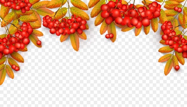 Bellissimo sfondo con ramo di sorbo con foglie di arancio e rosso ashberry Vettore Premium