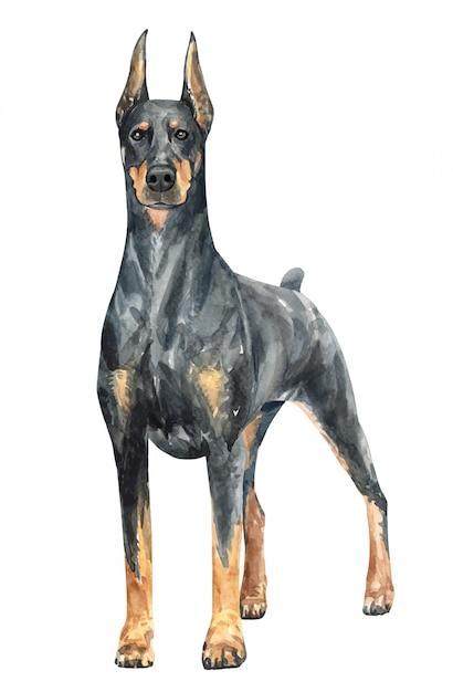 Cane dell'acquerello disegnato a mano doberman. Vettore Premium