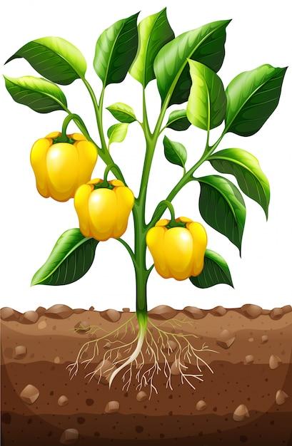 Capsico fresco sulla pianta Vettore Premium