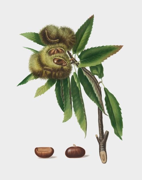 Castagna spagnola dall'illustrazione di pomona italiana Vettore gratuito