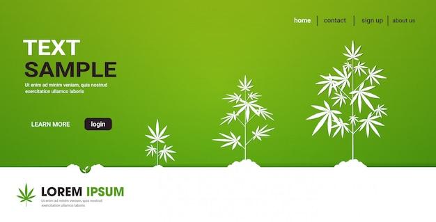 Ciclo di fasi di crescita delle piante di cannabis impianto di marijuana medica canapa industria industria spazio orizzontale copia spazio concetto Vettore Premium
