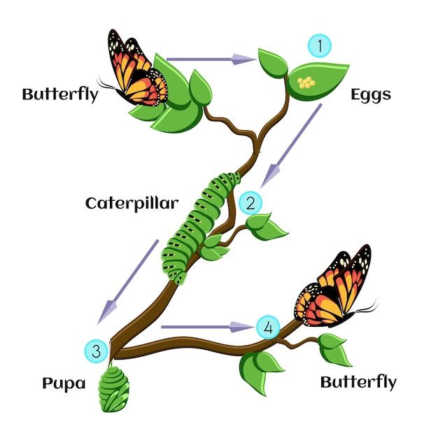 Ciclo di vita della farfalla Vettore Premium