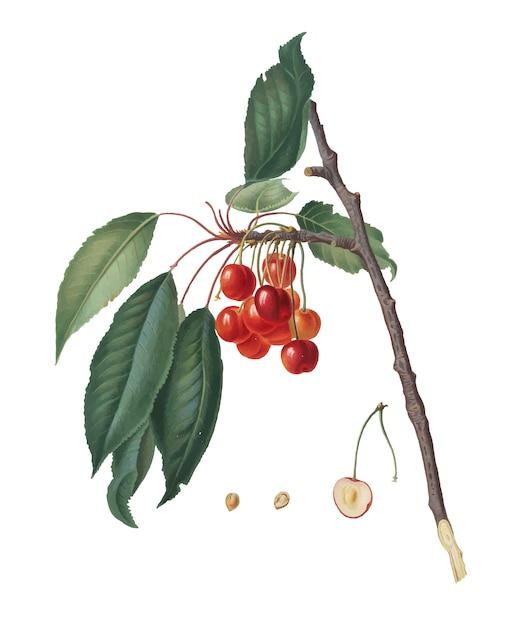 Ciliegia dall'illustrazione di pomona italiana Vettore gratuito