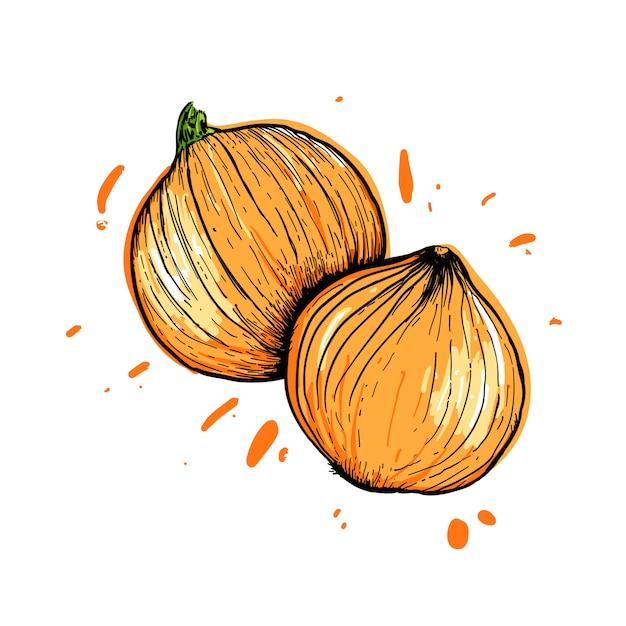 Cipolle dipinte con una linea su bianco Vettore Premium