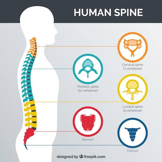 Colonna vertebrale umana con le parti colorate Vettore gratuito