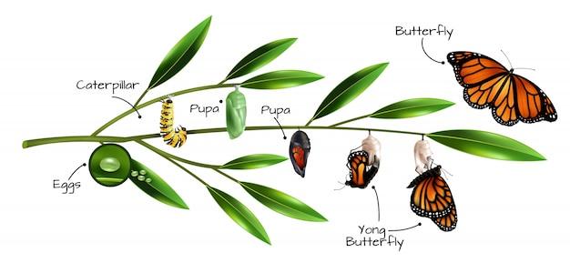 Composizione di metamorfosi di farfalla Vettore gratuito