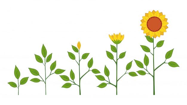 Concetto delle fasi di crescita della pianta del girasole di vettore Vettore Premium