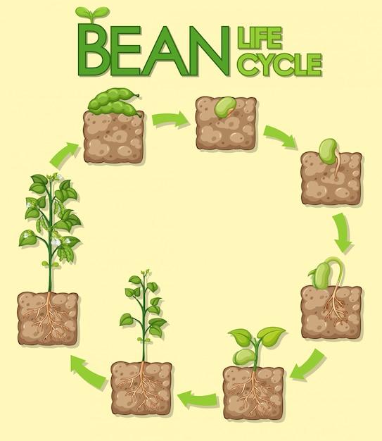 Diagramma che mostra come le piante crescono dal seme ai fagioli Vettore gratuito
