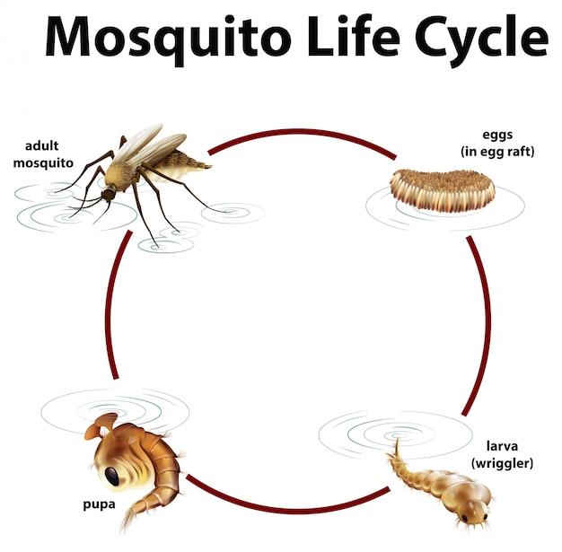 Diagramma che mostra il ciclo di vita della zanzara Vettore gratuito