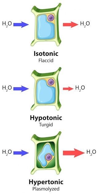 Diagramma che mostra il concetto di osmosi delle cellule vegetali Vettore gratuito
