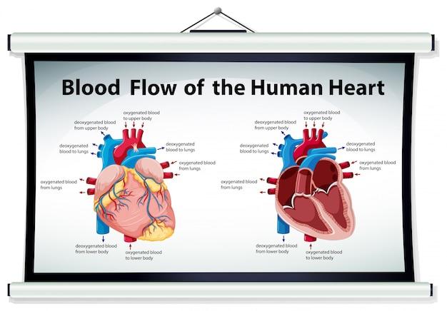 Diagramma che mostra il flusso di sangue nel cuore umano Vettore gratuito