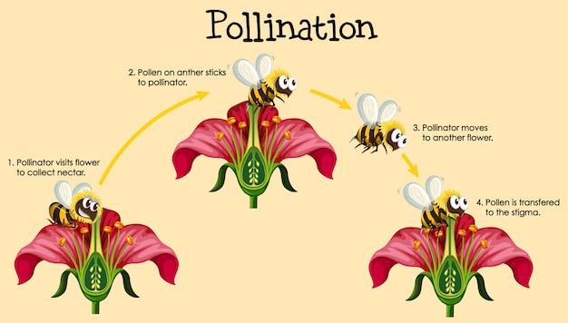 Diagramma che mostra l'impollinazione con ape e fiori Vettore gratuito