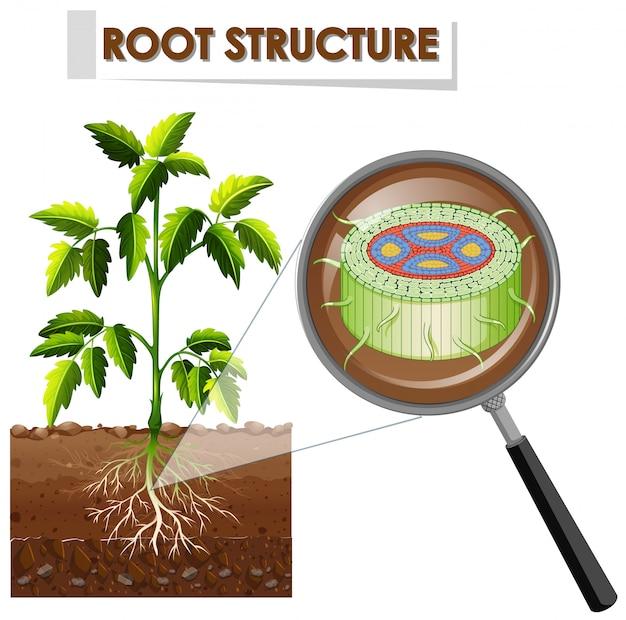 Diagramma che mostra la struttura della radice di una pianta Vettore gratuito