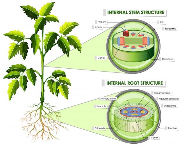 Diagramma che mostra la struttura dello stelo e della radice Vettore gratuito