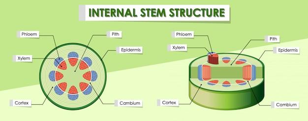 Diagramma che mostra la struttura interna dello stelo Vettore gratuito