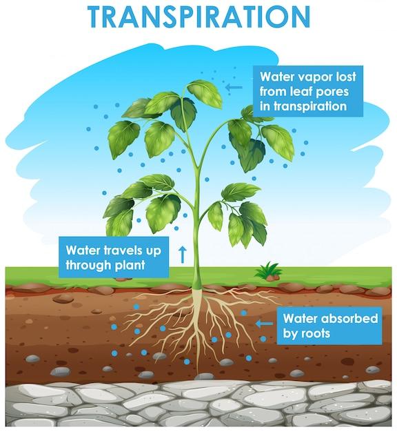Diagramma che mostra la traspirazione nella pianta Vettore gratuito