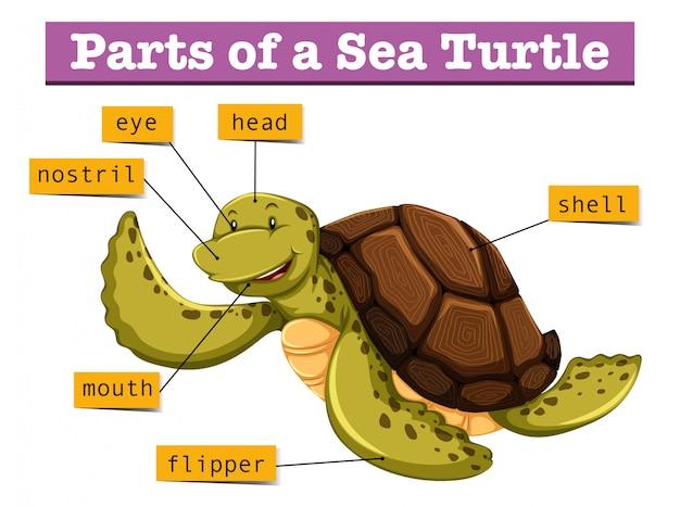 Diagramma che mostra le diverse parti della tartaruga Vettore Premium