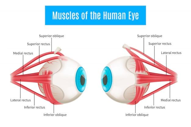 Diagramma di anatomia dell'occhio umano Vettore gratuito