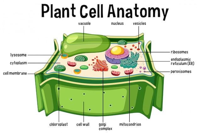 Diagramma di anatomia delle cellule vegetali Vettore Premium