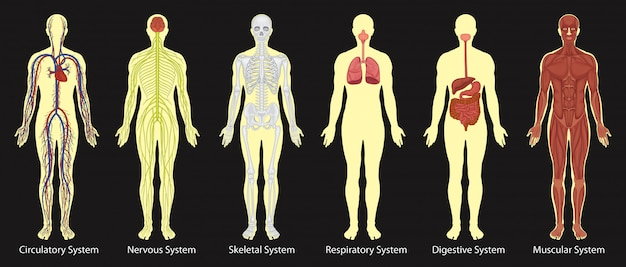 Diagramma di sistemi nel corpo umano Vettore Premium